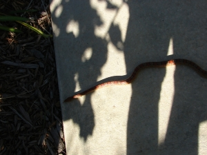 Security shift over ;)  (a Harmless Red Rat Snake)