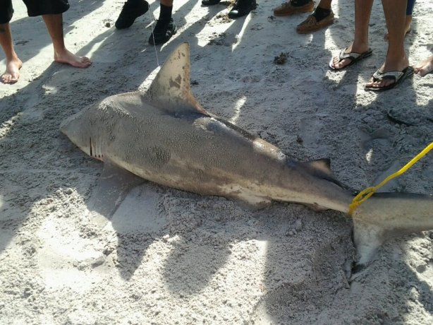 A Nursing Shark they say, but it doesn't look like one to me, caught at Cocoa Beach Pier in the morning of November 11 2013